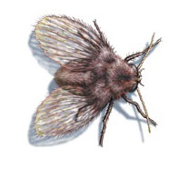 adult-drain-fly